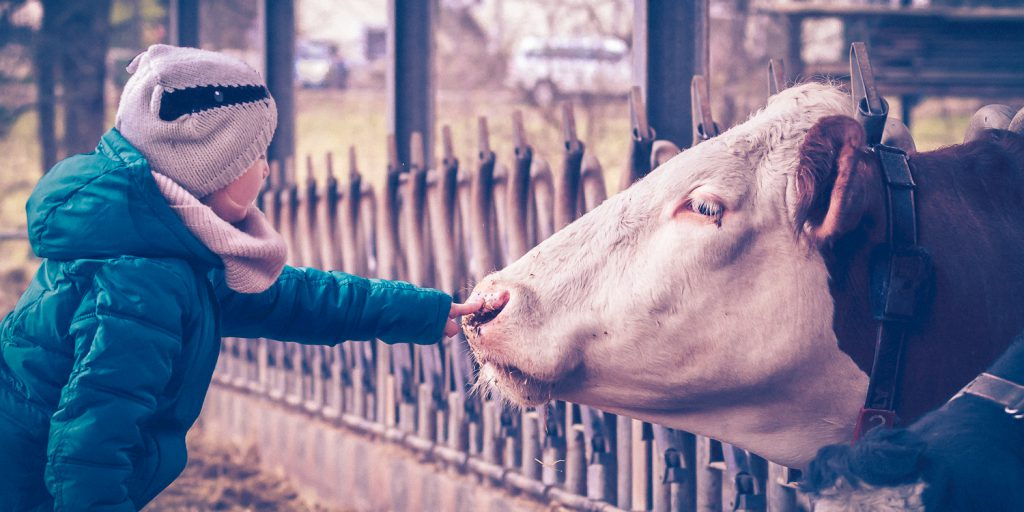 Kuh im Stall mit Kind